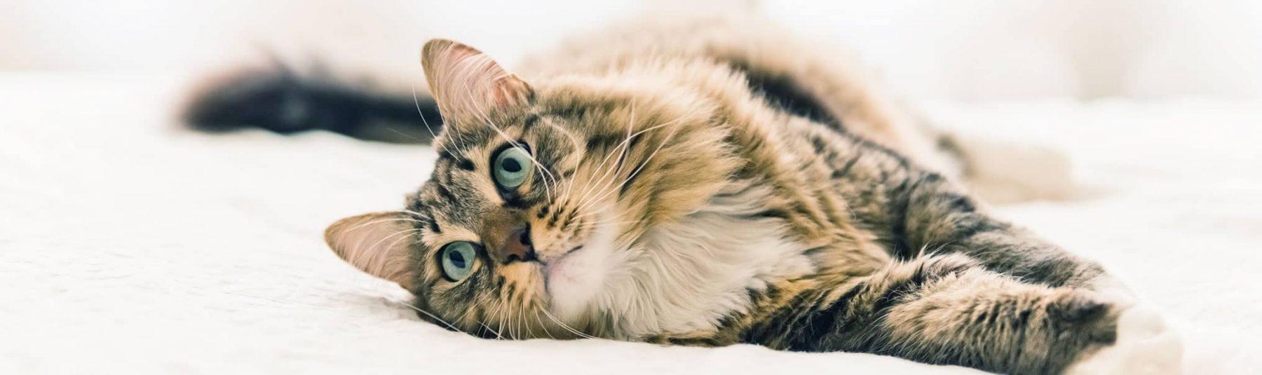 cat-spaying